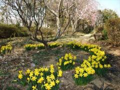 林の庭 ミニ水仙