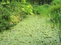 池の庭アサザ1
