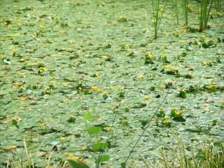 池の庭アサザ2