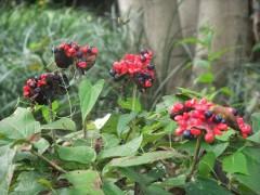 ヤマシャクヤクの赤い実